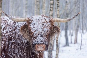 Schottischer Highlander im Schnee von Ans Bastiaanssen