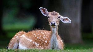 Damhert met grote oren