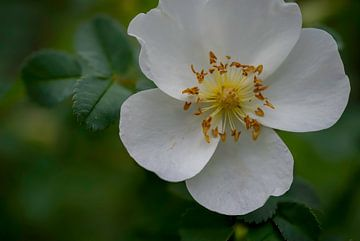 Duinroos - bloem 01
