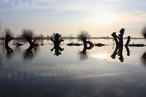 Knotwilgen bij hoog water in Oosterbeek van