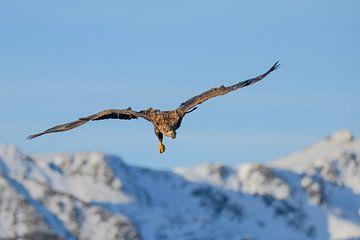 Zeearend jagend in de lucht in de winter van Sjoerd van der Wal