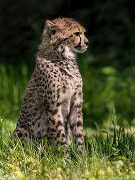 Cheetah oder Cheetah: Königlicher Bürgerzoo von Loek Lobel