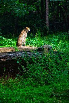 Gepard auf der Lauer von Michel Groen