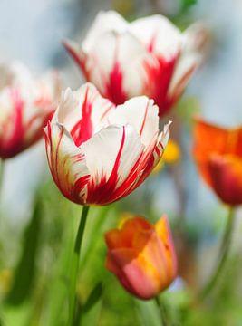 Tulipa flammender Sprung grün von Corinne Welp