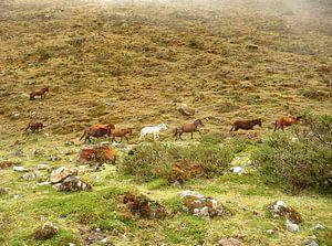 'Wilde paarden', Peru van