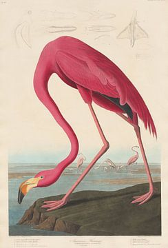 Amerikanischer Flamingo - John James Audubon von Meesterlijcke Meesters