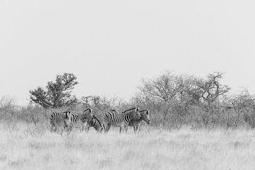 Kudde zebras in zwart-wit || Etosha national park, Namibië