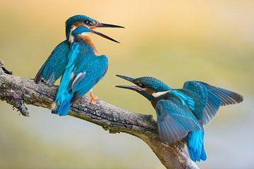 Eisvogel  ( Alcedo atthis ), zwei Eisvögel, Jungvogel bettelt um Futter, Altvogel will ihn aus dem R von wunderbare Erde
