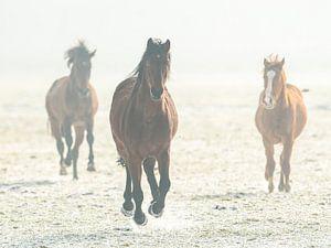 Paarden in galop van