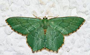 Smaragdgroene zomervlinder