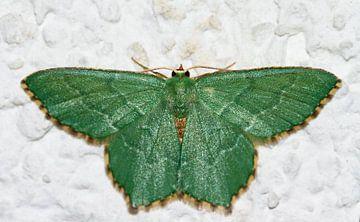 Smaragdgroene zomervlinder van