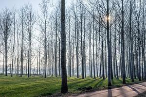 Doorkijk tussen hoge bomen met lange schaduwen bij laagstaande winterzon in Lieshout, Brabant