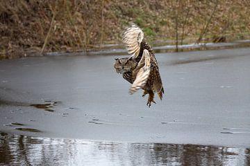Vlucht van een Europese Oehoe (1/7) van Robin Scholte