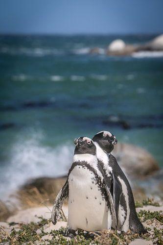 Pinguïns, in dit geval de zwartvoetpinguïns. Deze soort, ook wel de Afrikaanse pinguïn genoemd van Original Mostert Photography