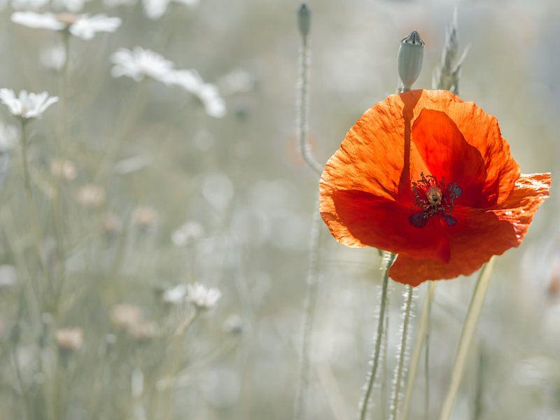 Poppy early morning van Kurt Krause