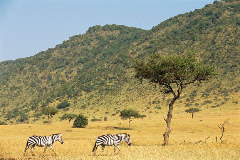 Zebras lopend over de savanne in het Masai Mara National Park, Kenia van Nature in Stock