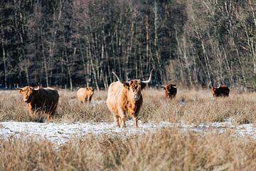 Schotse Hooglanders 002 van Quinten Tolboom