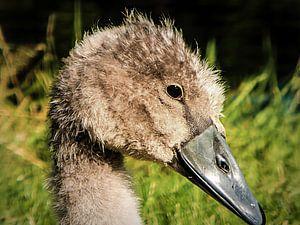 Portret van een jonge zwaan van