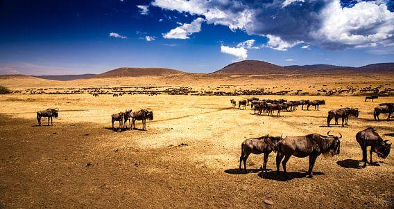 Gnoes in de Ngorongoro krater van René Holtslag