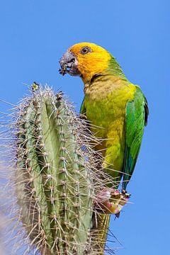 Dieser Gelbflügel-Amazonen-Papagei sitzt auf einem Kaktus und frisst eine Blütenknospe von Ben Schonewille