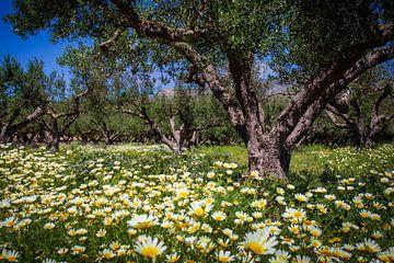 Olijfboomgaard van
