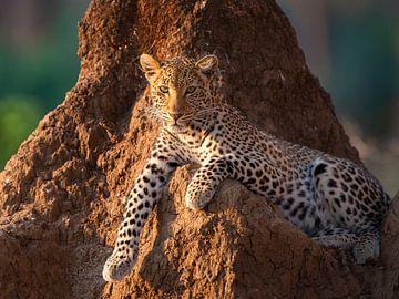 Princess het luipaard van YvePhotography