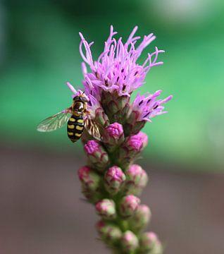 Zweefvlieg op bloem van sandra ten wolde