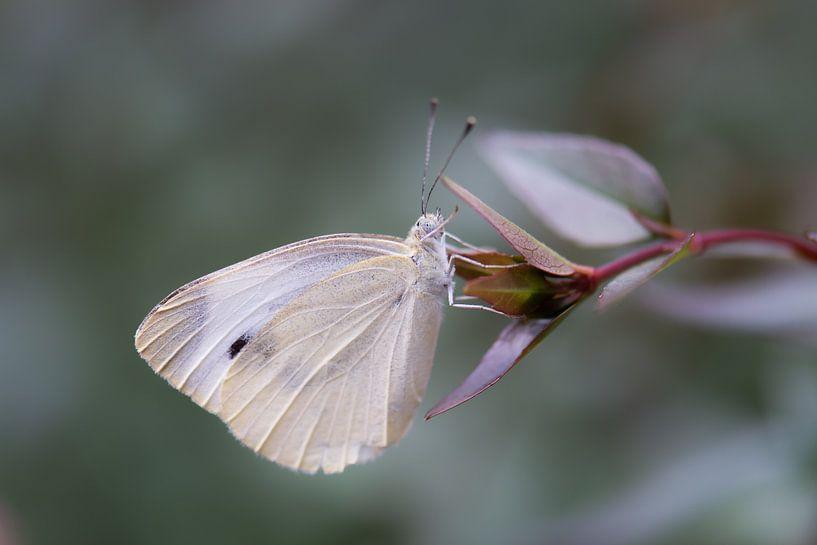 Pieridae von Tania Perneel