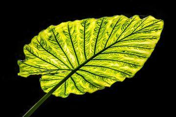 Groen blad in Tegenlicht von Harrie Muis