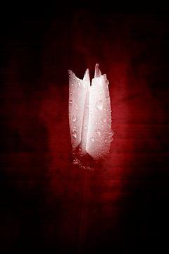 Rood / witte klaproos van Ribbi The Artist