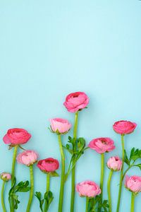 Roze ranonkels
