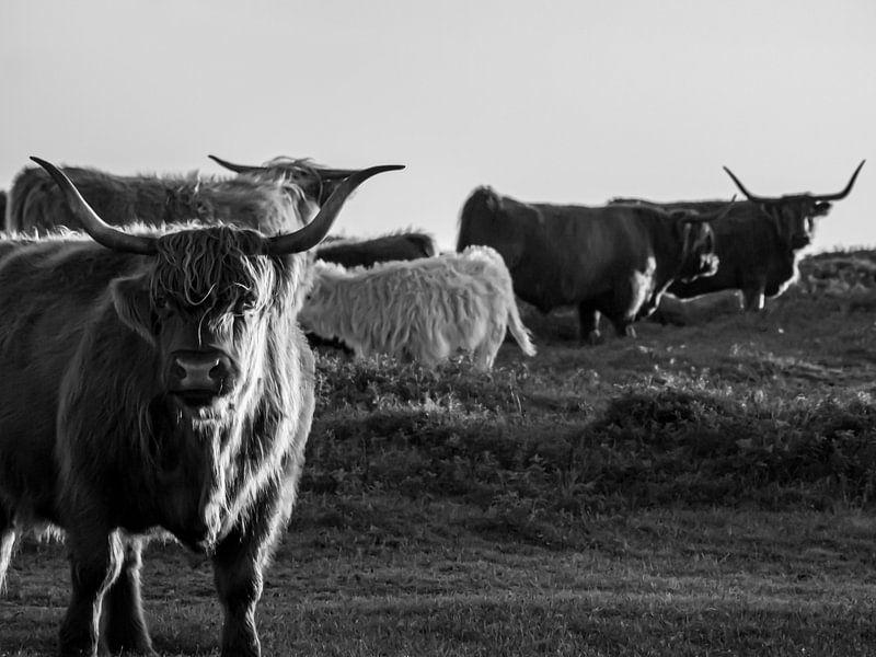 Schotse Hooglanders op Texel van Martijn Wit