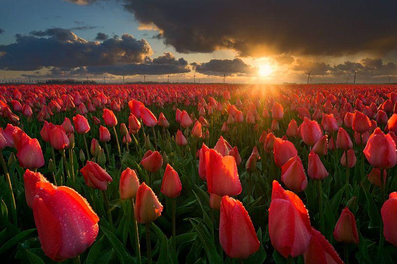 Tulips at Sunset van Martin Podt
