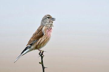 Bloed linnet ( Carduelis cannabina ), Europese zangvogel van wunderbare Erde