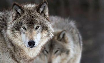 Deux Loups von Renald Bourque