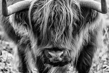 Porträt eines schottischen Hochlandbewohners in den Kennemer-Dünen von Melissa Peltenburg