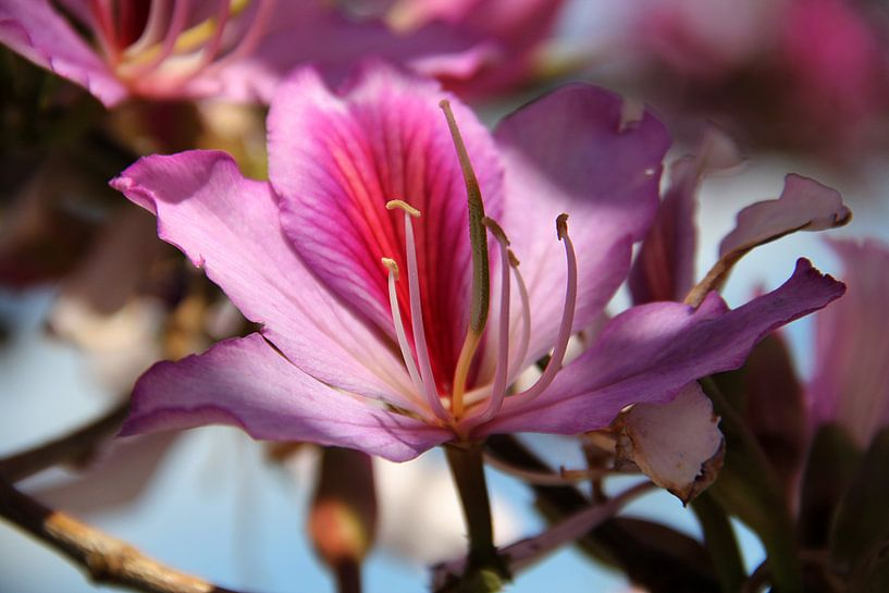 The Purle Blossom van Cornelis (Cees) Cornelissen