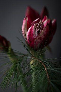 La tulipe dans l'obscurité