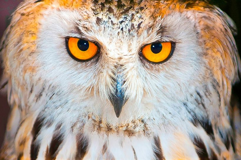 The Watching eyes of a Owl van Brian Morgan