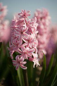Roze Hyacint van Monique Hassink