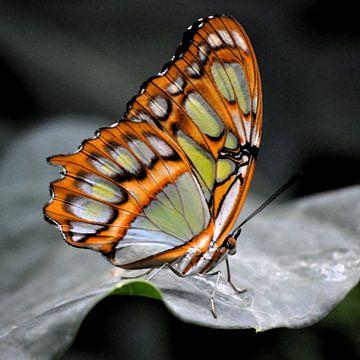 Macro opname van een kleurrijke vlinder op een blad van Cor Heijnen
