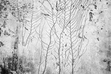 Oude vervallen muur met wortels van een klimop van Marjolijn Maljaars