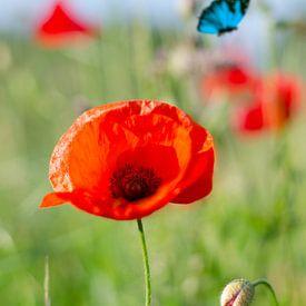Red Flower - klaproos met vlinder van Leon Brouwer