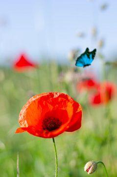 Red Flower - klaproos met vlinder