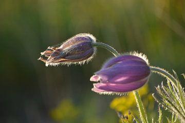 Blume im Abendlicht von Klaas Dozeman