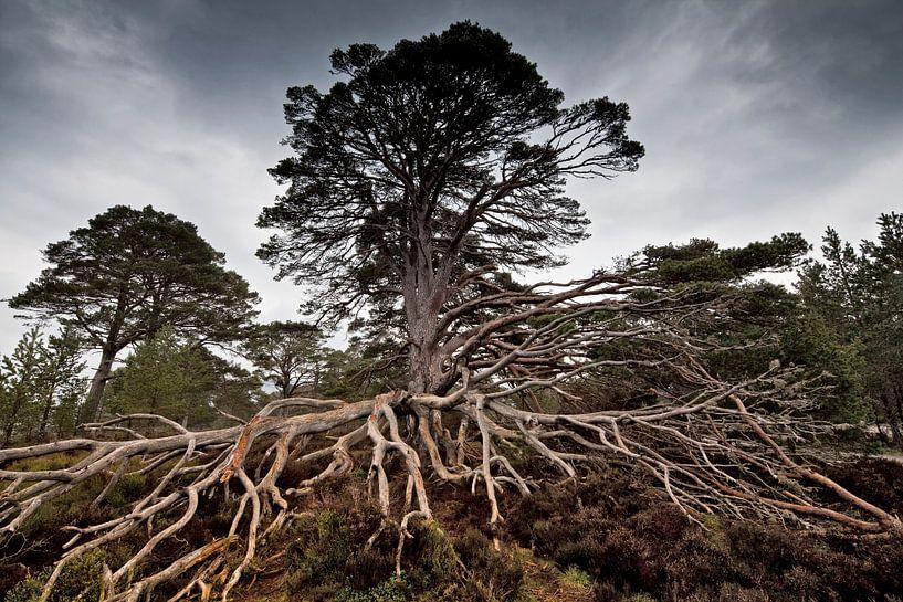 Old Tree van Henk Leijen