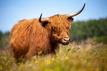 Schotse Hooglander in veld met bloemen van Caroline van der Vecht