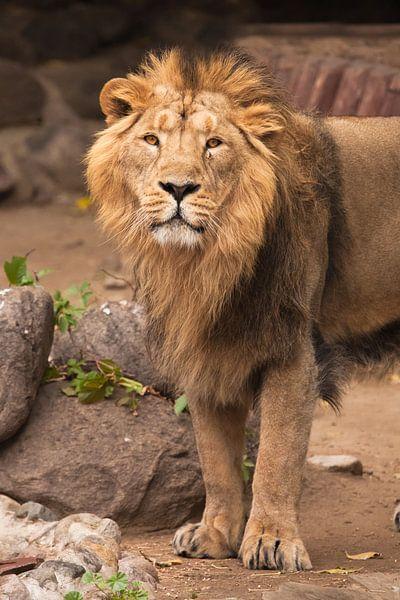 De leeuwenkater is een grote roofzuchtige sterke en mooie kat met een prachtige manen van haar. van Michael Semenov