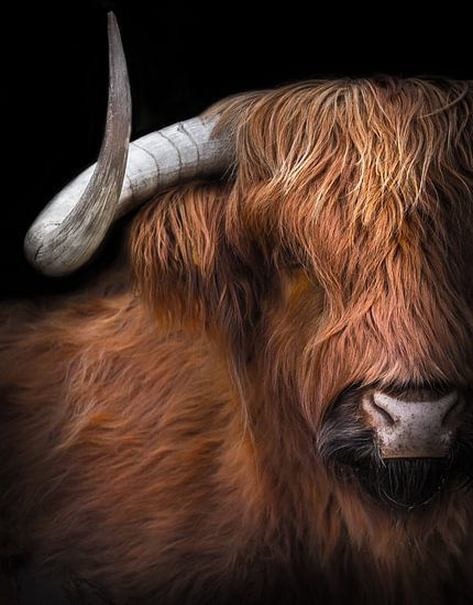 Schottischer Highlander