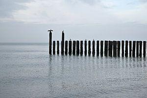 Cormorans sur la plage de la mer du Nord